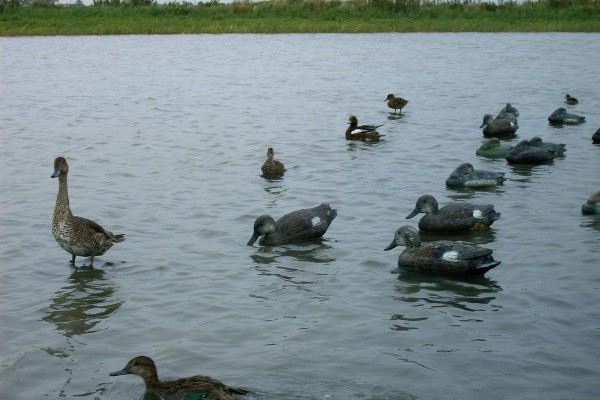 appelants-canards