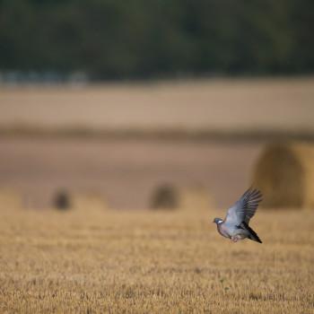 pigeon-ramier-colombidés_fnc_dgestim2016 (14)